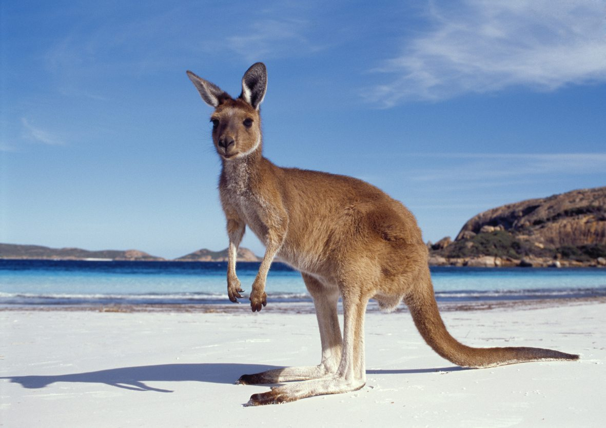 Fauna; Kangaroos;
