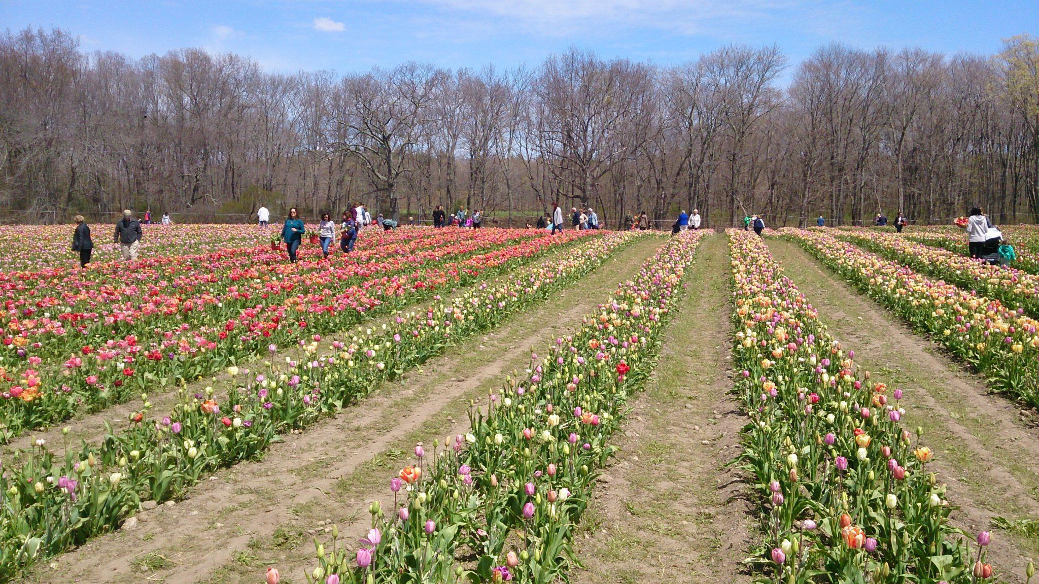 Piantare I Bulbi Di Tulipani un campo di tulipani alle porte di milano: l'idea di un olandese