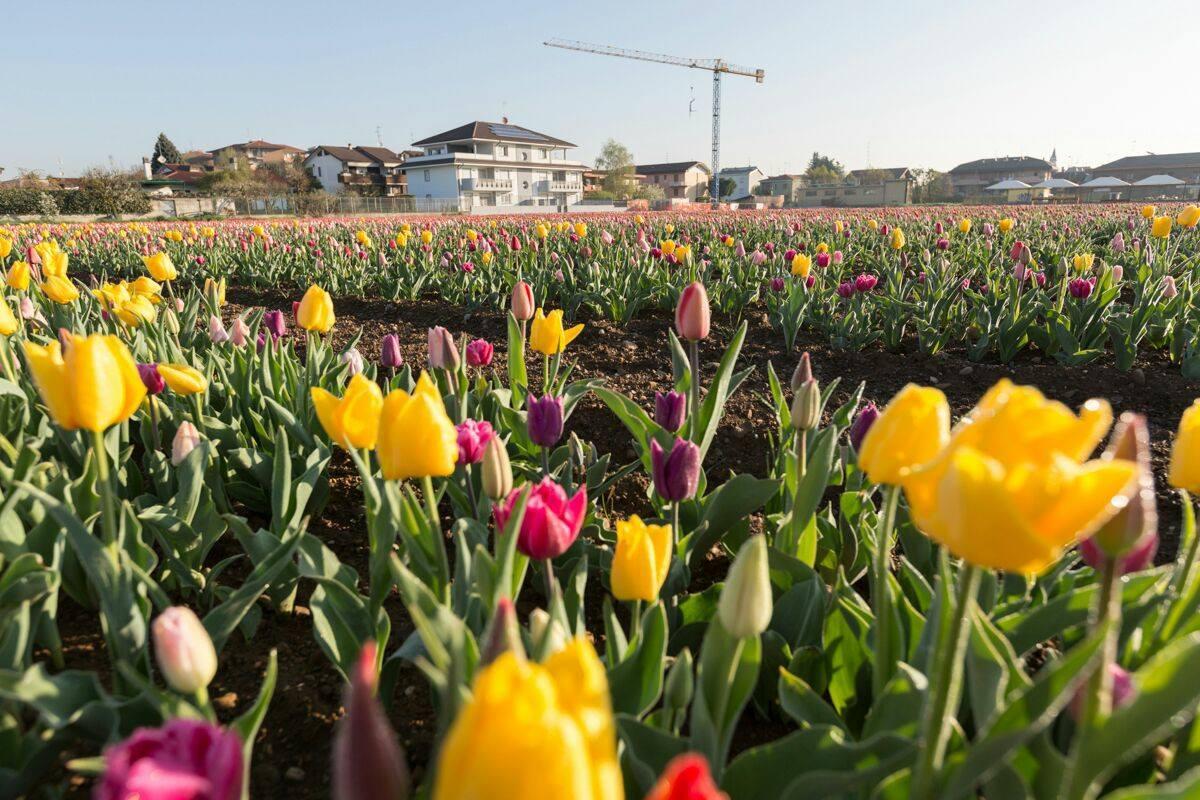Tulipani italiani riapre il campo alle porte di milano for Tulipani italiani